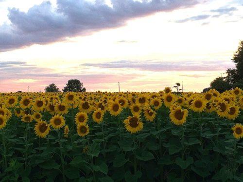 Sonnenblumenfeld in Italien